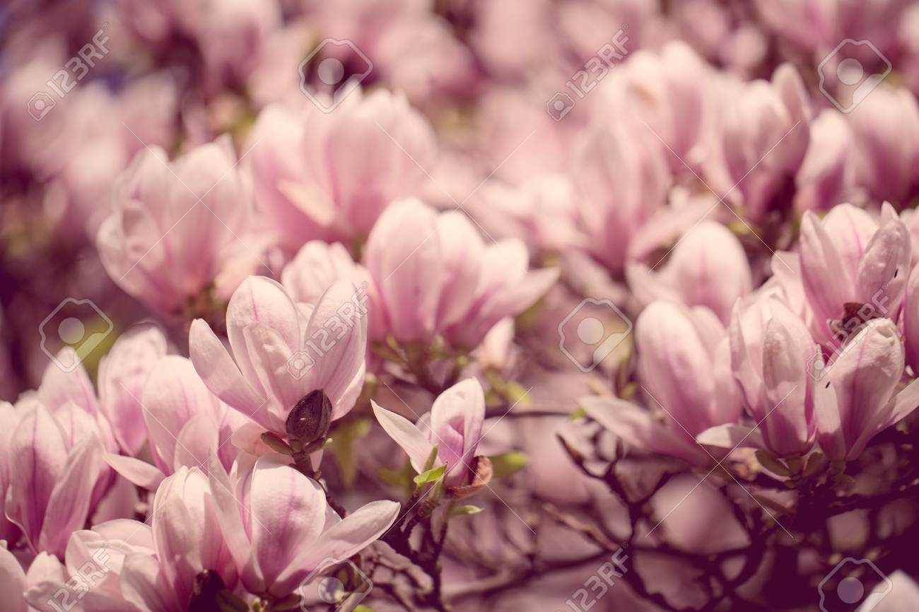 Flowering magnolia tree densely covered with beautiful fresh stock flowering magnolia tree densely covered with beautiful fresh pink flowers in spring stock photo 19834487 mightylinksfo