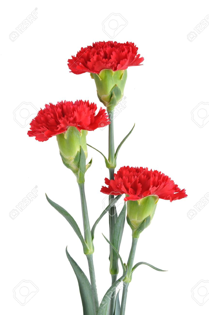 Three Red Carnation on White background Stock Photo - 7904929