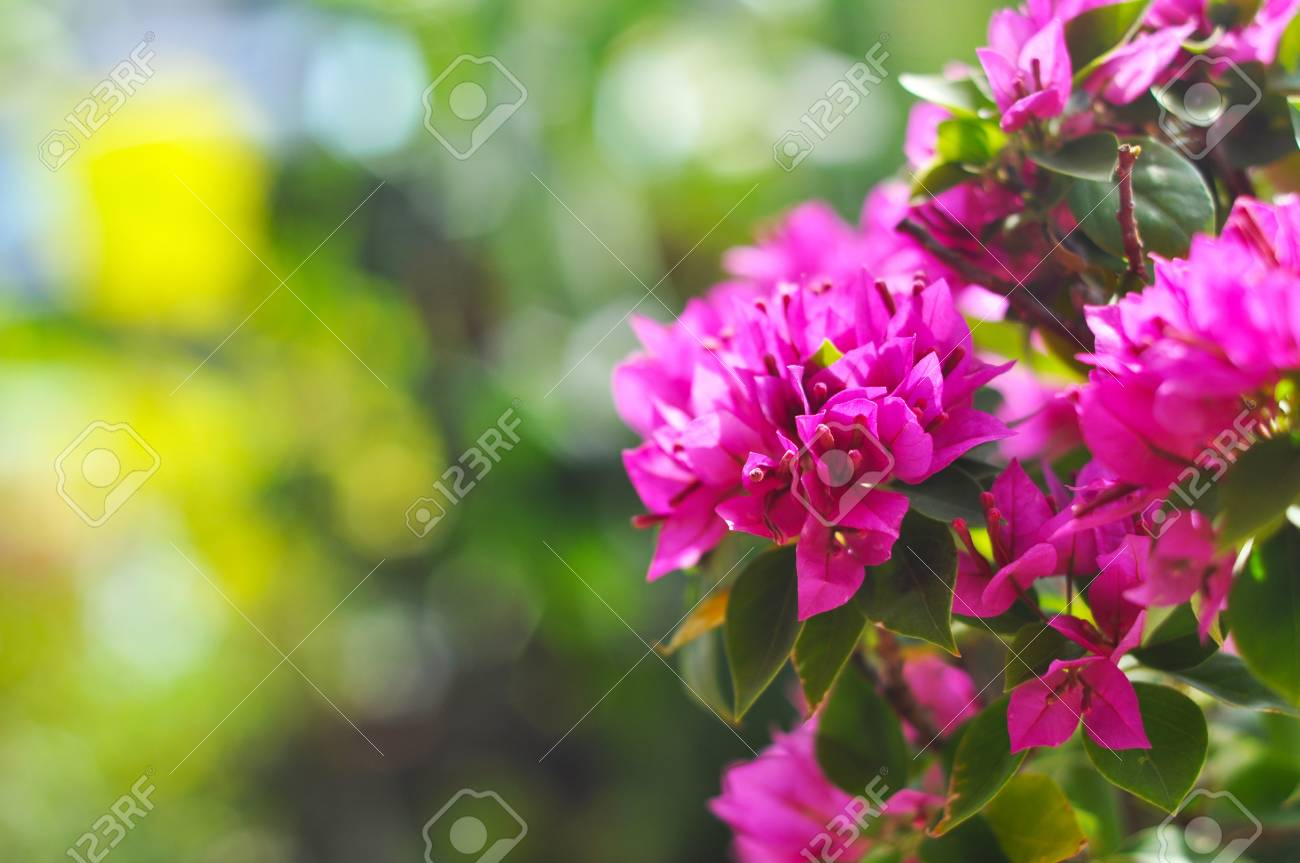 Paper flower or Bougainvillea Stock Photo - 9632314