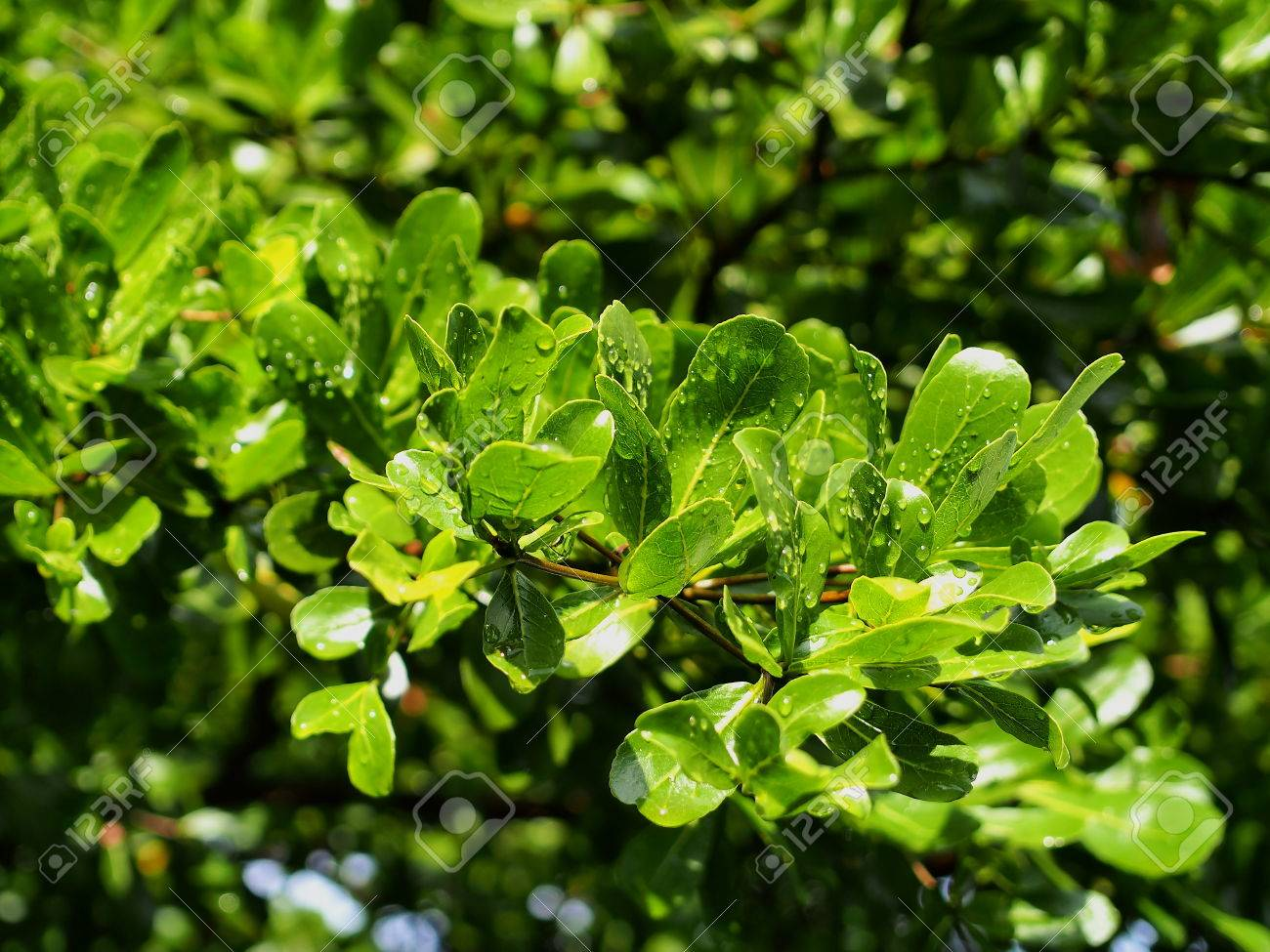 Blätter Von Terminalia Ivorensis Chev. Terminalia Ivorensis Chev Ist Eine  Der Beliebtesten Für Dekorieren Gartenhaus