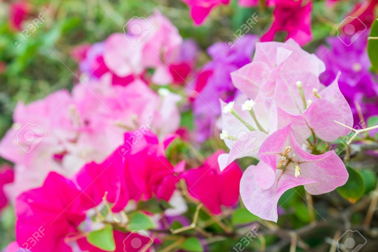 Bougainvillea Paper Flowers In Summer Stock Photo Picture And