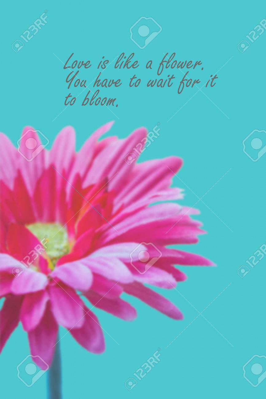 Flower Love Quotes Amusing Love Quotes On Pink Gerbera Flower Background Stock Photo Picture