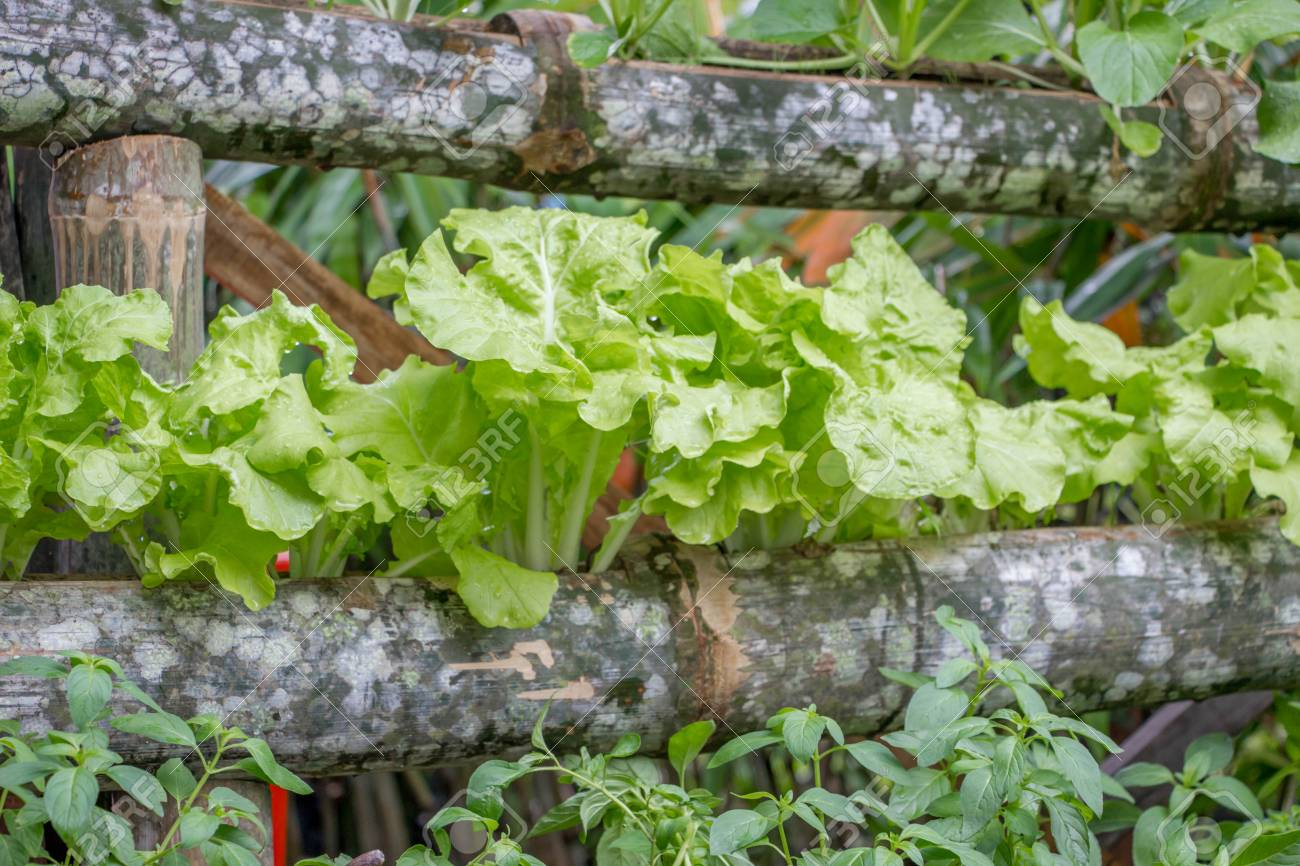 Grünes Gemüse Pflanze Wächst In Rinde Des Baumes Im Vertikalen