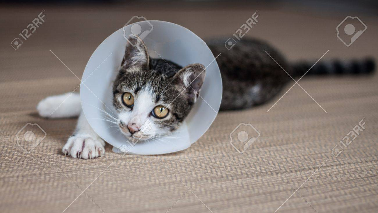 Siamese cat in a cone lie leisurely on a mat - 17698980
