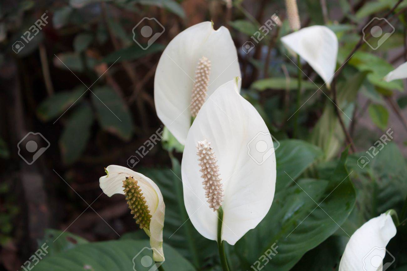 Beautiful white spathiphyllum flower Peace Lily  in garden Standard-Bild - 18763090