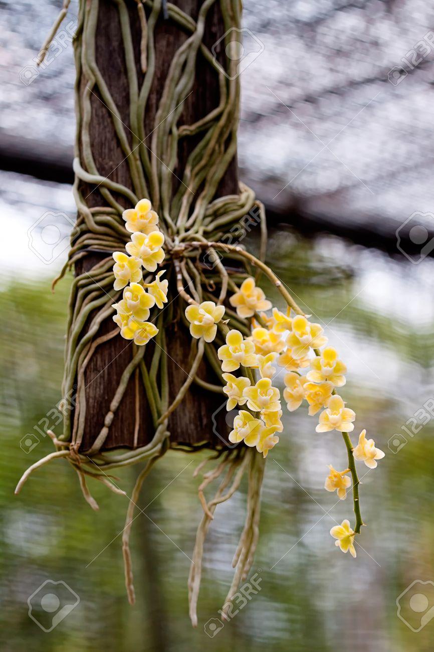 Foto de archivo , Imagen de orquídeas amarillas en Tailandia.