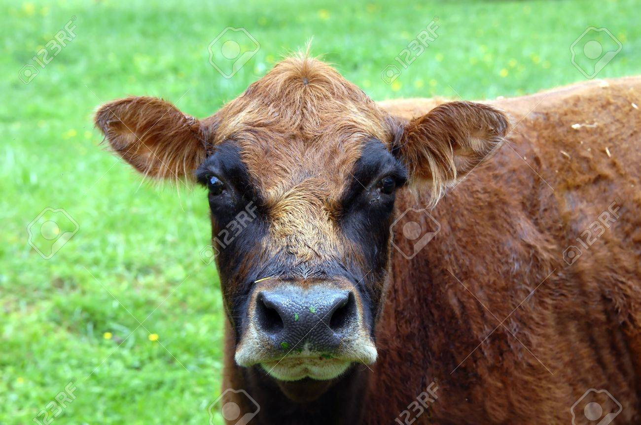 Comical cow has residue from his grazing in the meadow all over his nose.  His face has a mask on it and adds to the comical appearance. Stock Photo - 14861643