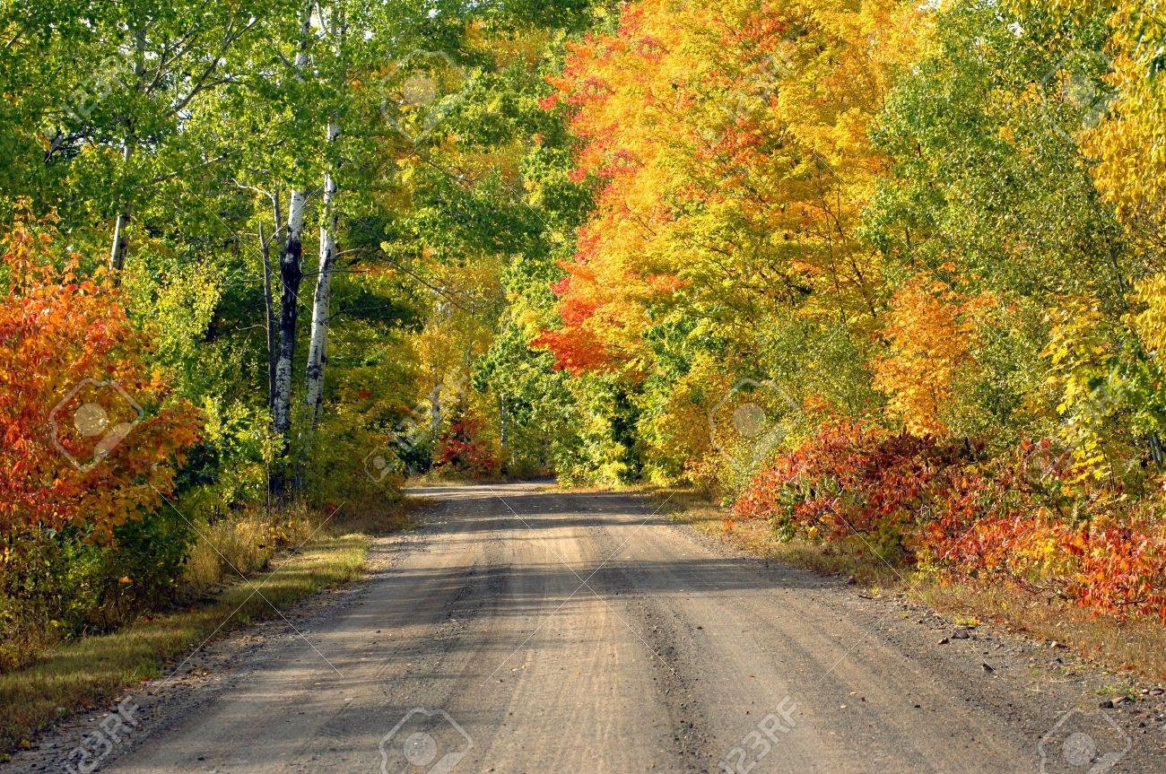 One lane dirt road disappears into the distance on this tree lined logging road in the upper penninsula of Michigan. Brilliant yellow and orange trees at peak color fill the fall woods with brilliant color. - 14865764