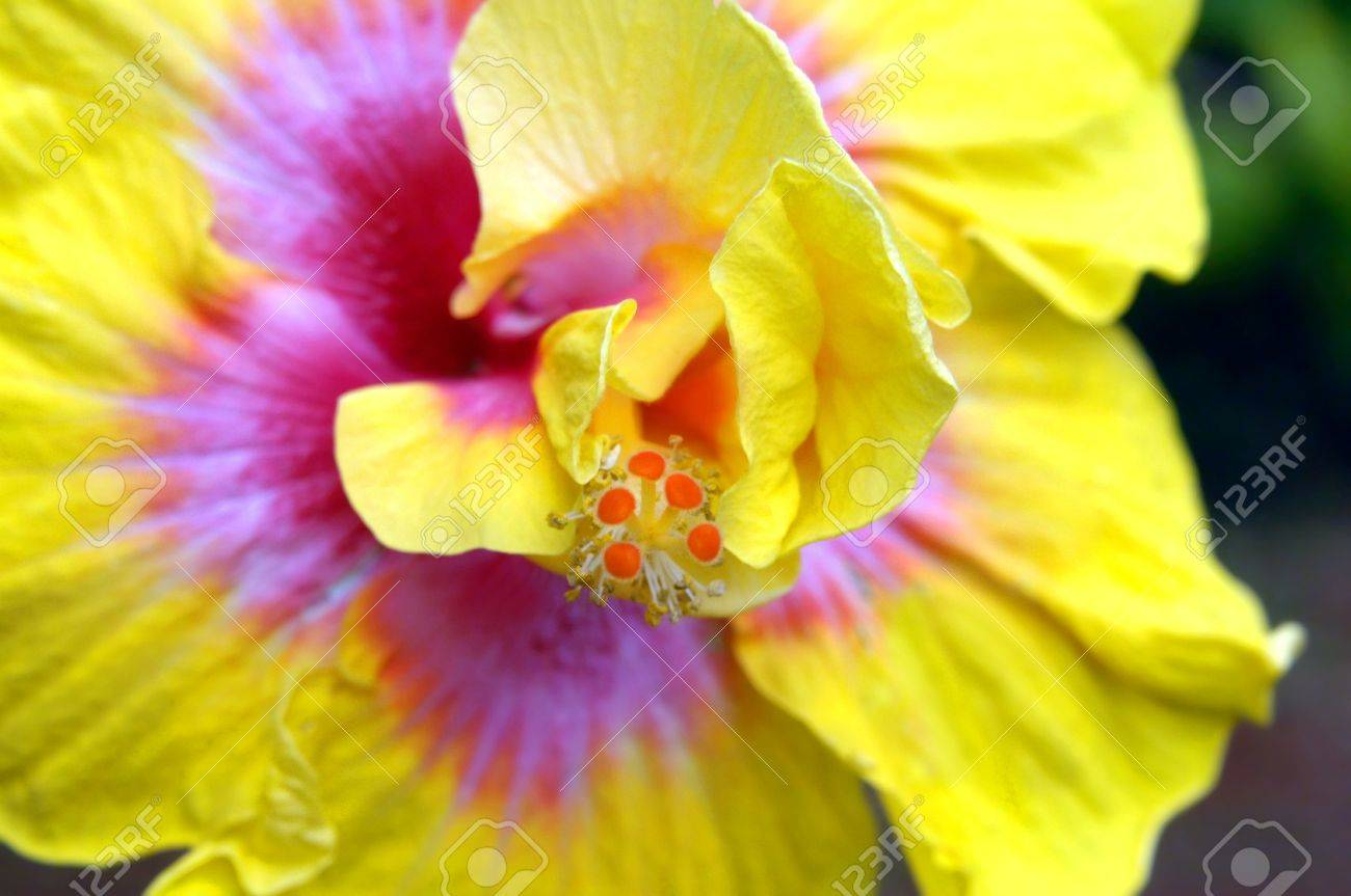 Oversized yellow and pink hibiscus blooms on the big island of oversized yellow and pink hibiscus blooms on the big island of hawaii image shows closeup mightylinksfo