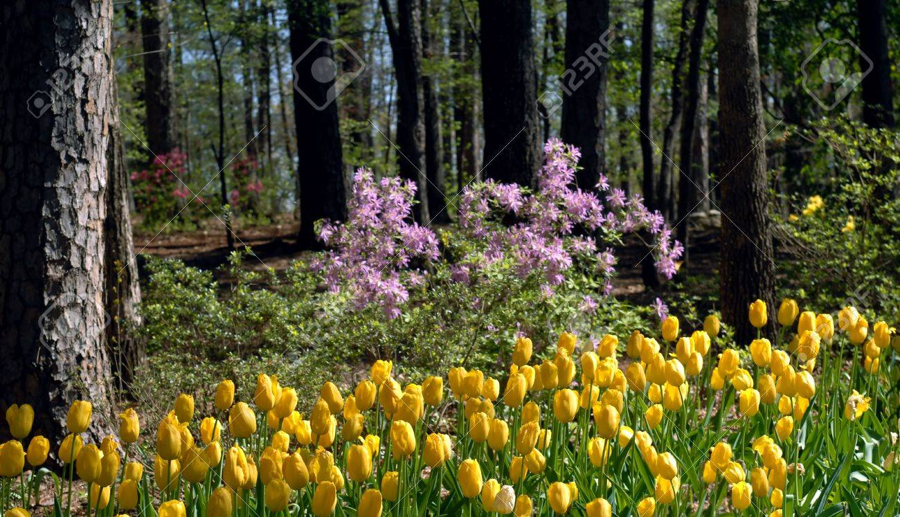 Yellow tulips and pink azaleas bloom under spring sunshine in yellow tulips and pink azaleas bloom under spring sunshine in garvin garden in hot springs dhlflorist Choice Image