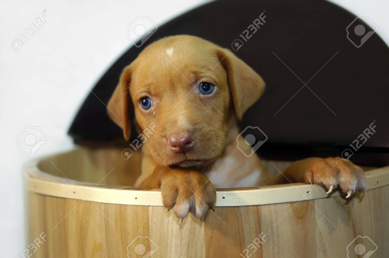 Golden Labrador Retriever Puppy Stands In Wooden Crate And Begs