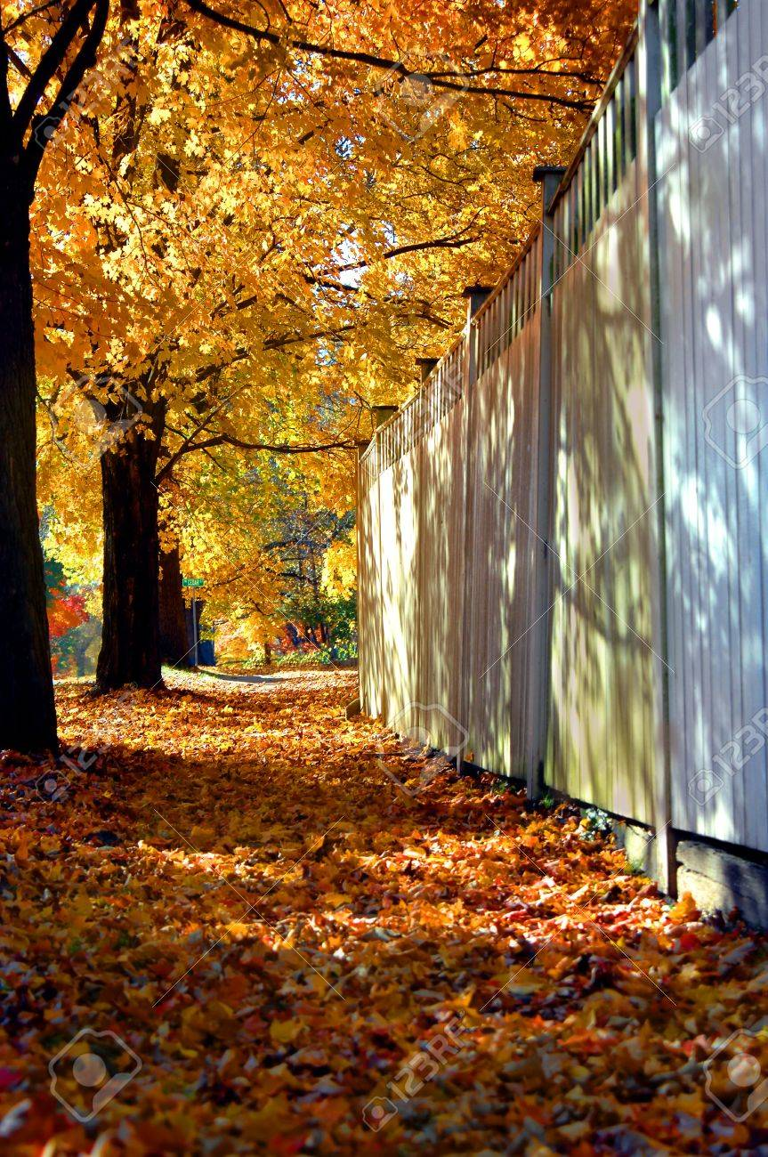 City street has tunnel of overhanging maple branches forming a tunnel of gold and orange   Sidewalk is covered with fallen leaves   Wooden security fence runs length of sidewalk Stock Photo - 15024814