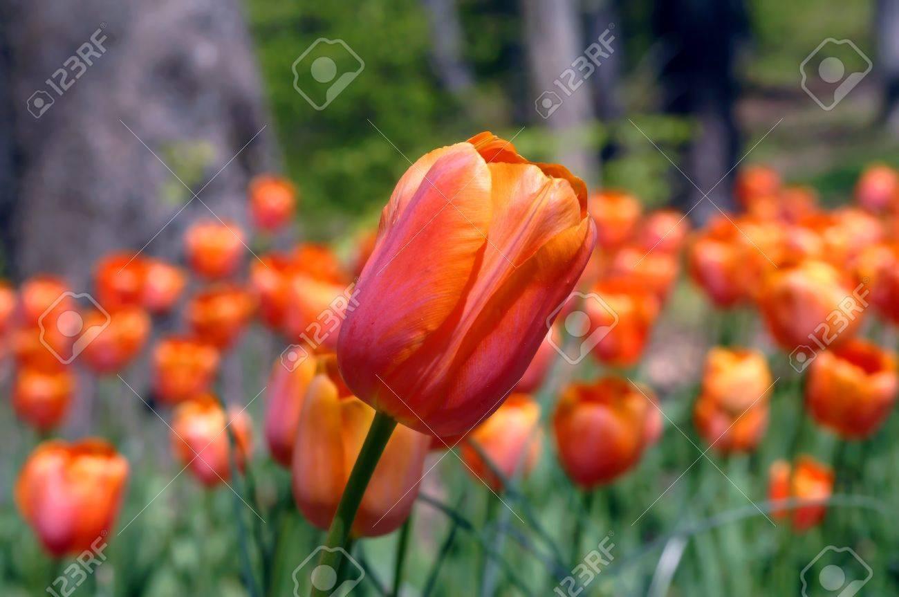 Brilliant Orange Tulip Fronts A Bed Of Look Alikes Garvan Woodland