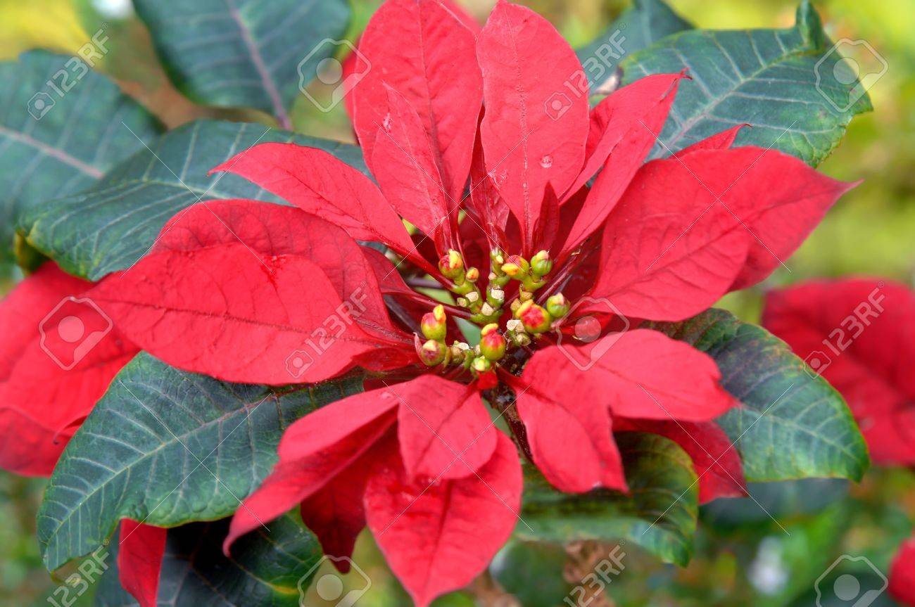 wild poinsettia images u0026 stock pictures royalty free wild