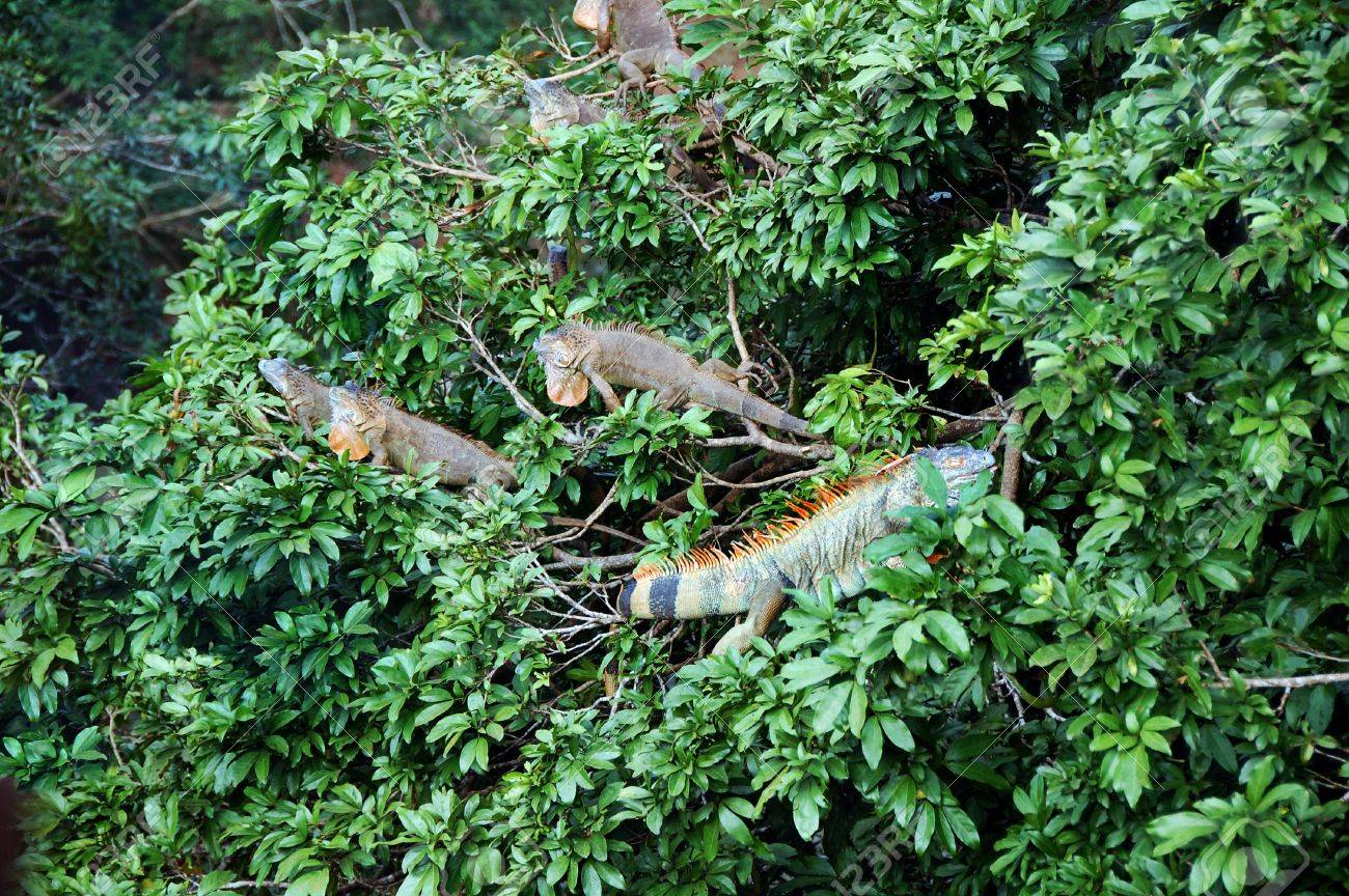 In the upper canopy of a Costa Rican rainforest a cluster of Iguanas rest and & In The Upper Canopy Of A Costa Rican Rainforest A Cluster Of ...