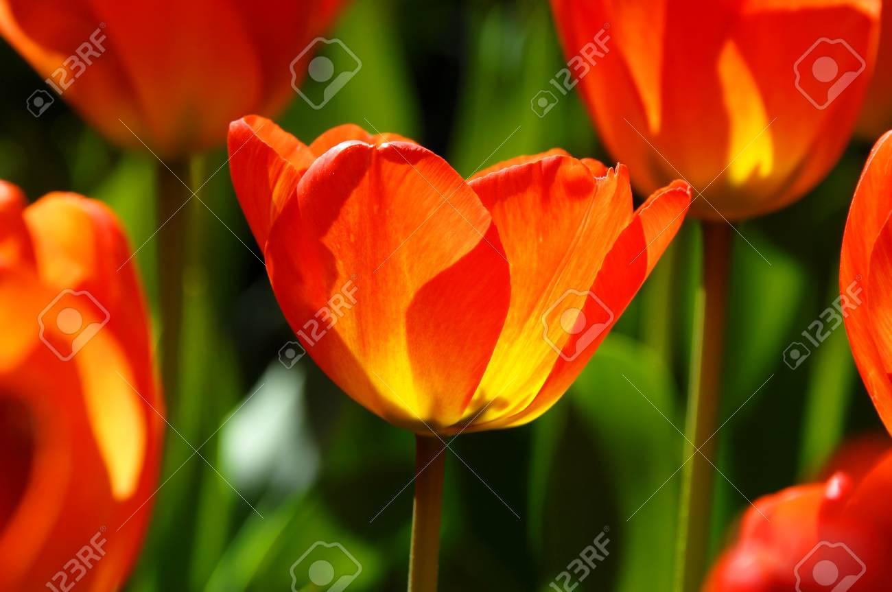 Spring Glows Through The Petals Of Bright Orange Tulips At Garvins