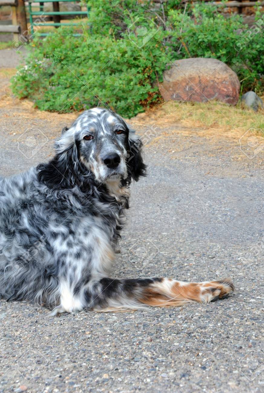 Cool Sad Black Adorable Dog - 62886190-adorable-black-and-white-spotted-dog-sits-on-a-farm-in-happy-valley-montana-he-has-a-thoughtful-and-  Picture_765239  .jpg
