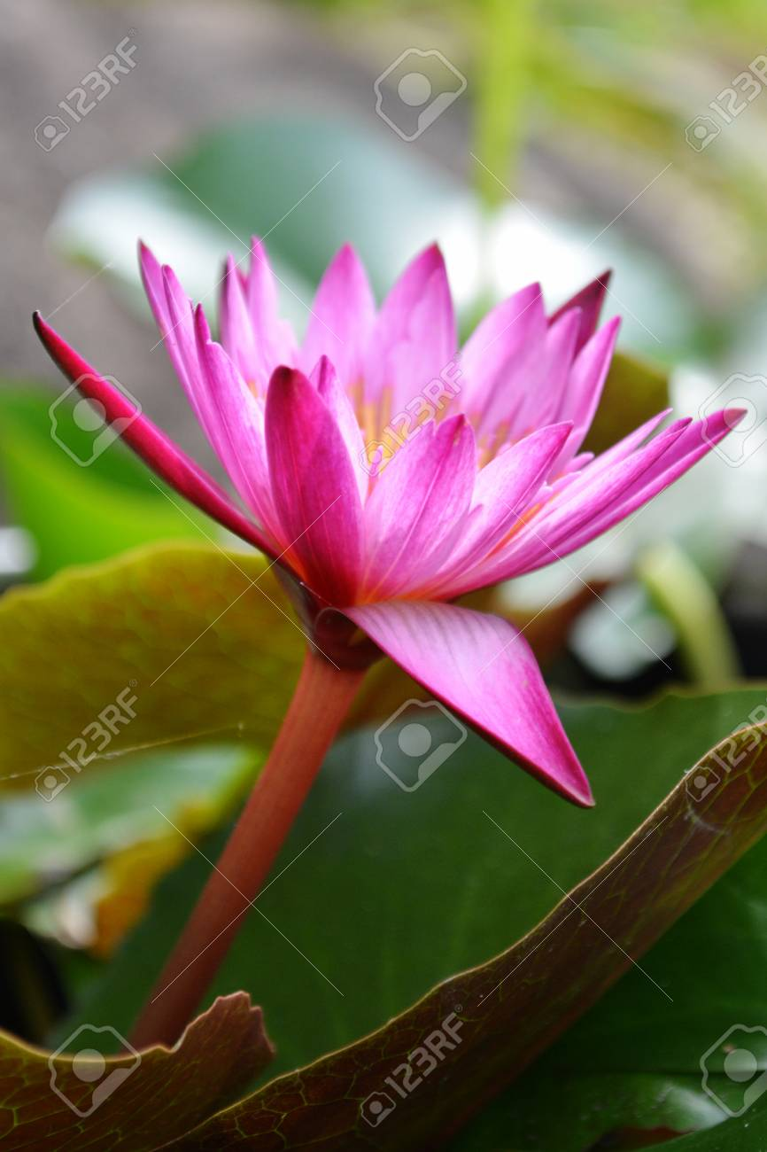 Beautiful Red Lotus Flower Blooming Stock Photo Picture And