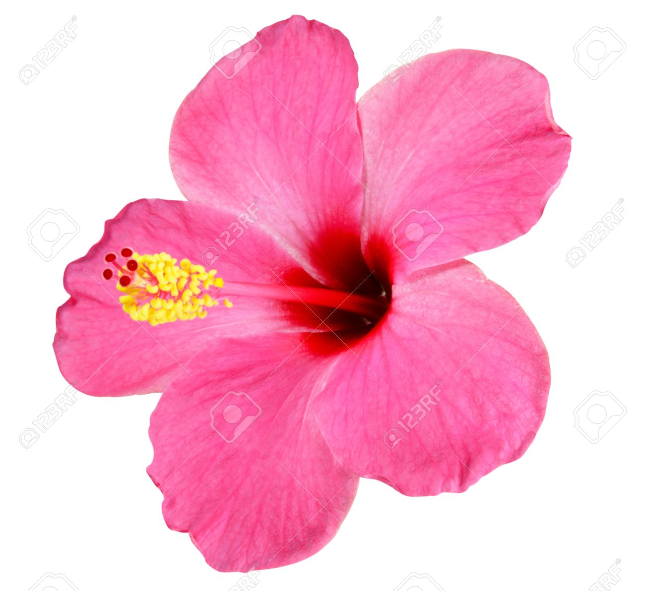 Pink Hibiscus On White Background Stock Photo Picture And Royalty
