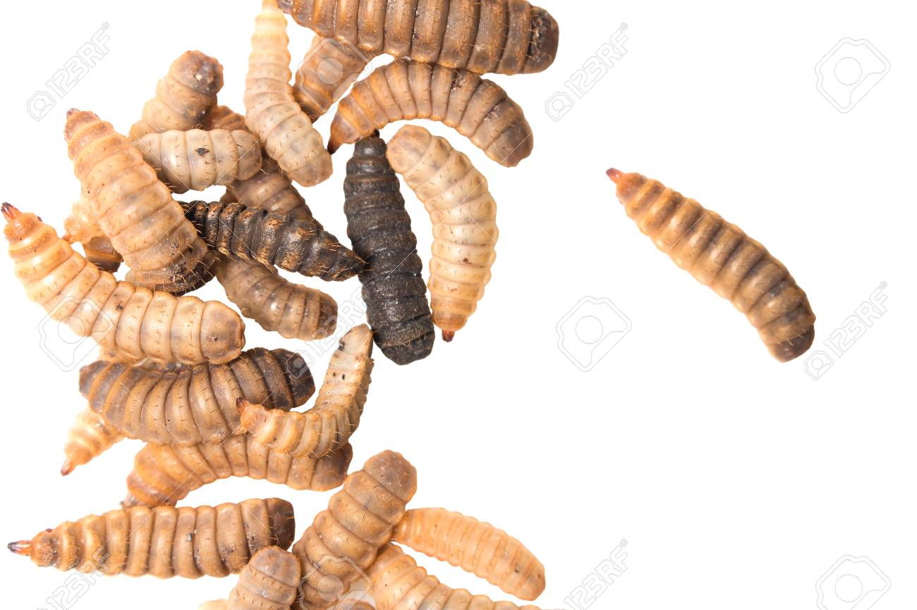 commercialisation of black soldier fly in europe & africa 2017-2-21 bsf: black soldier fly ec: european commission efsa: european food safety authority  in europe, was able to adapt to this emerging insect protein market the multipurpose aspect of insect rearing shows great  insects as livestock feed key messages.