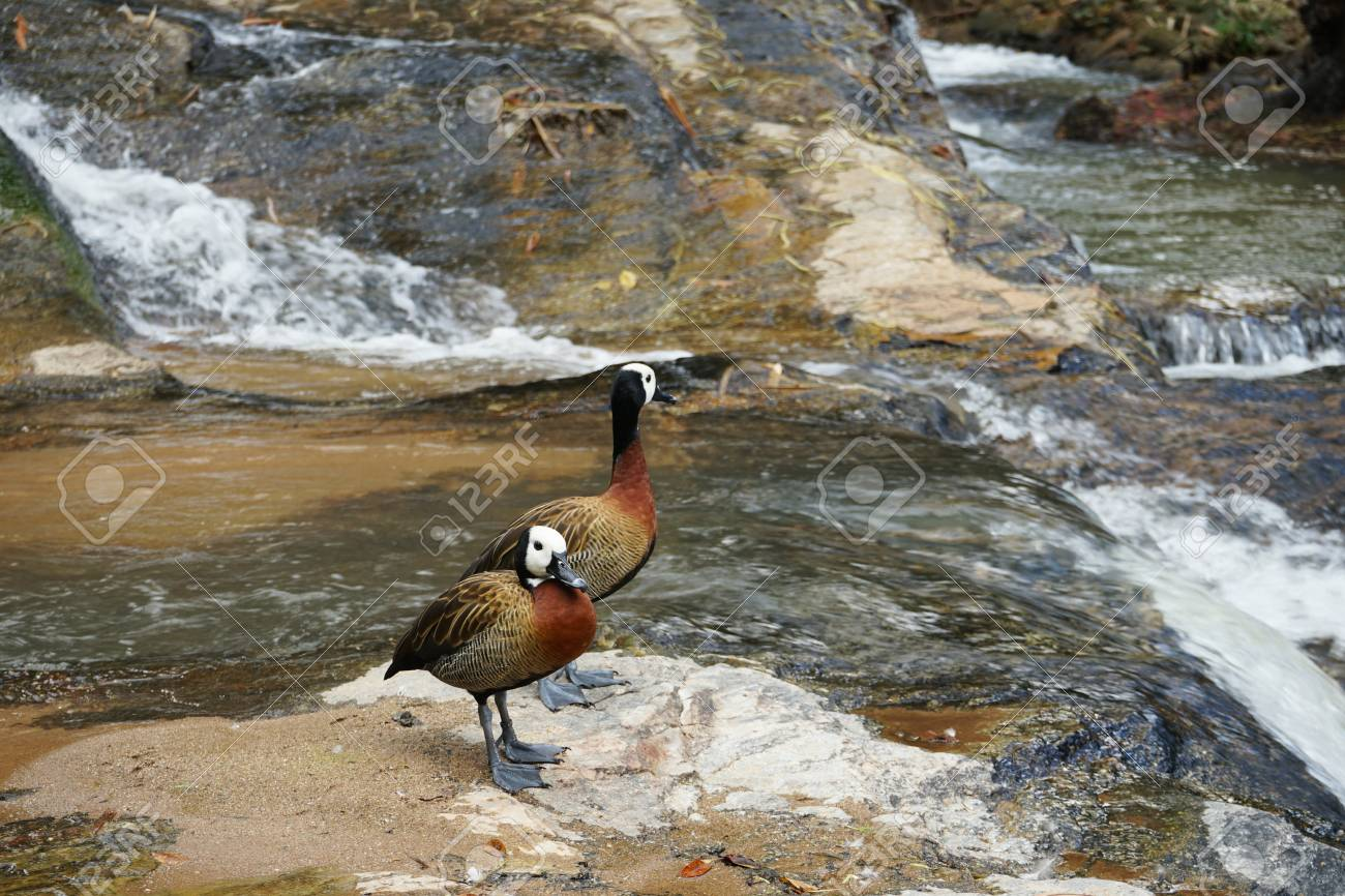 The winged teal is standing on the rock at waterfall Standard-Bild - 91302927