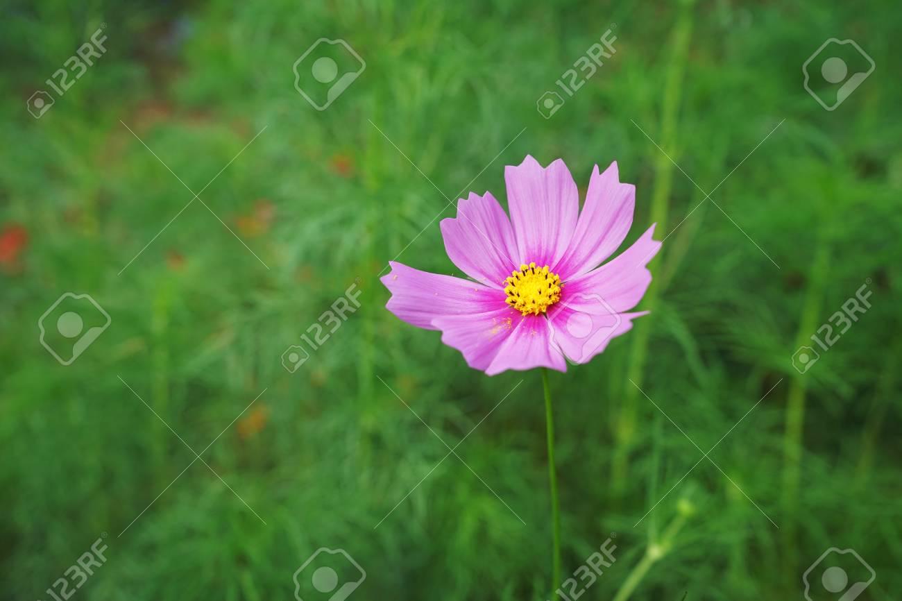 pink cosmos at garden Standard-Bild - 91338537