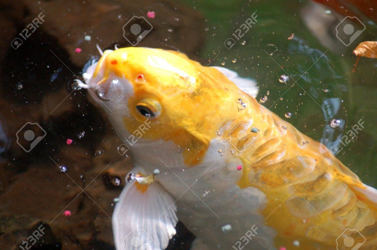 Koi Fish Stock Photo - 10121216