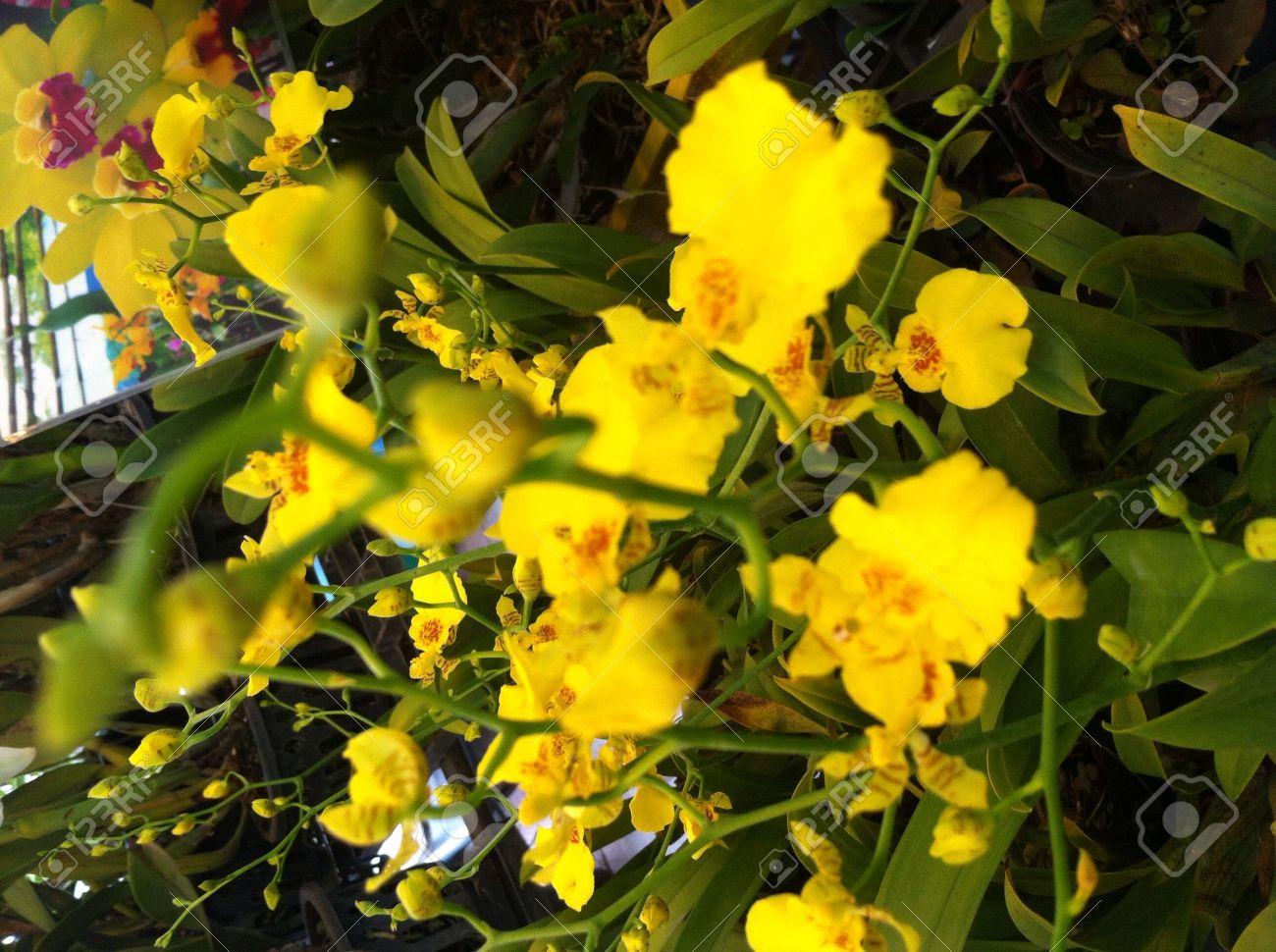 Foto de archivo , orquídeas amarillas