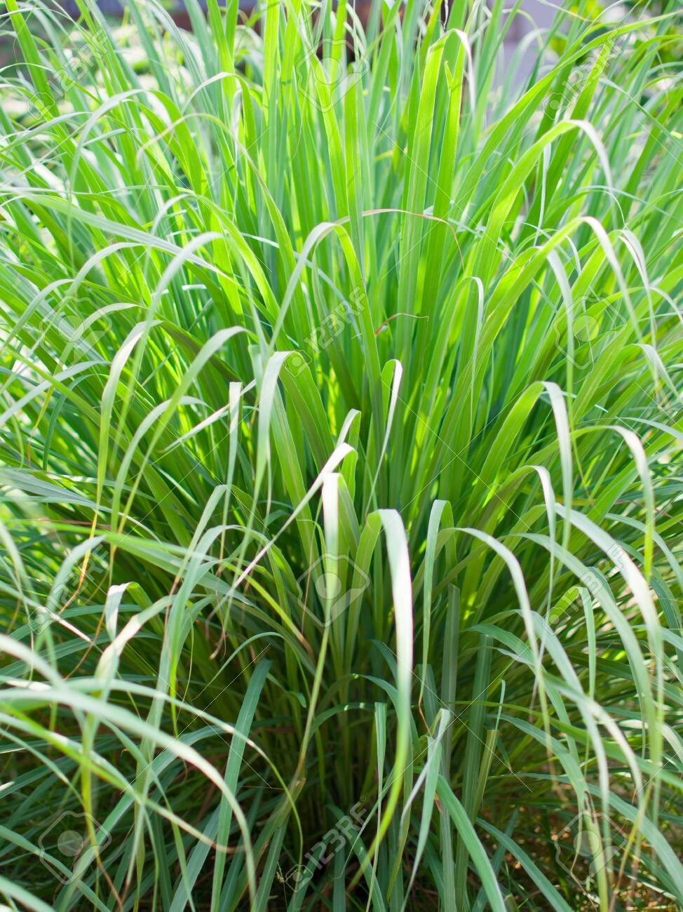 Lemongrass Or Lapine Or Lemon Grass Or West Indian Or Cymbopogon.. Stock  Photo, Picture And Royalty Free Image. Image 123381010.