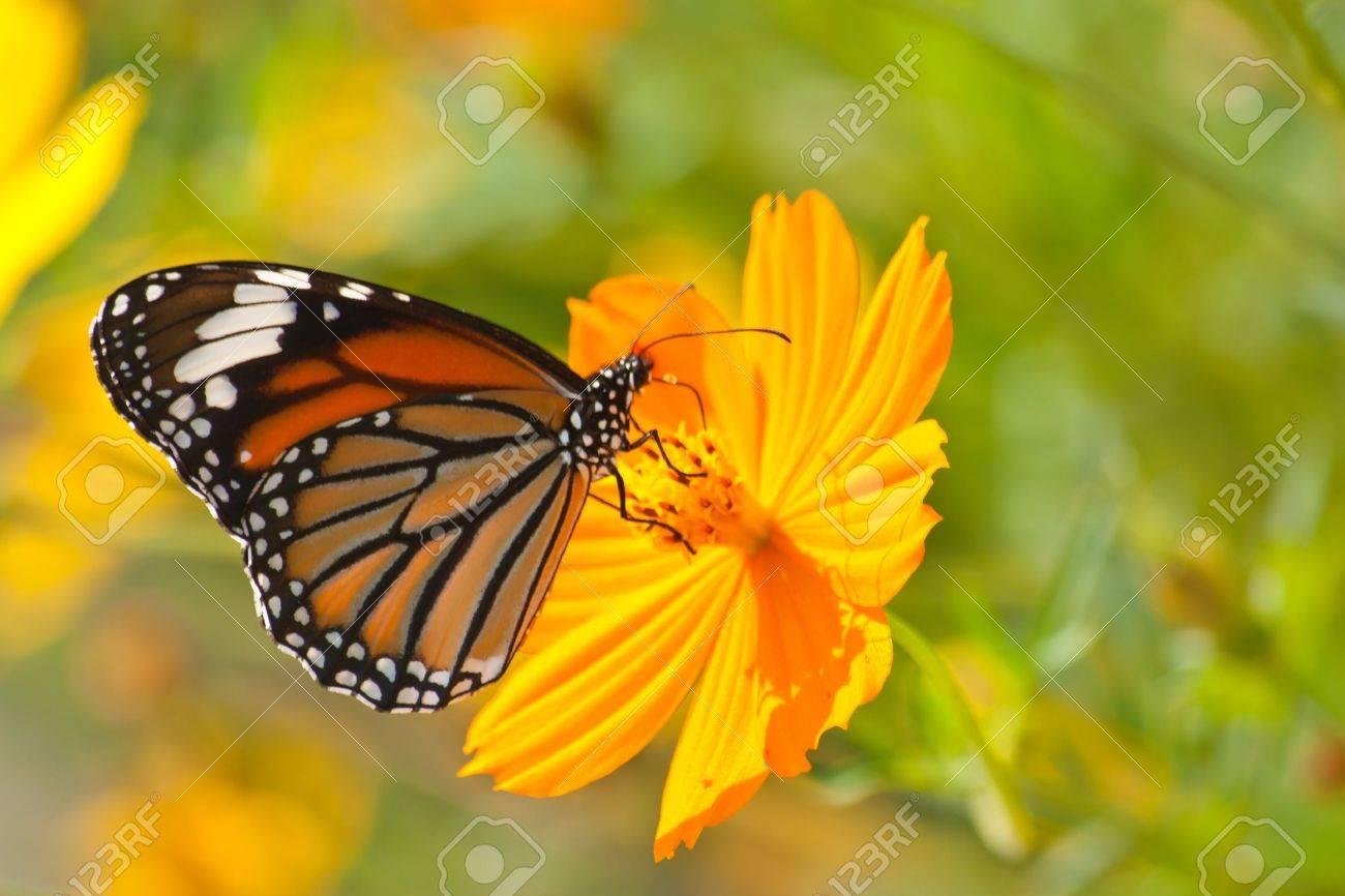 Butterfly feeding on a Flower - 16505843