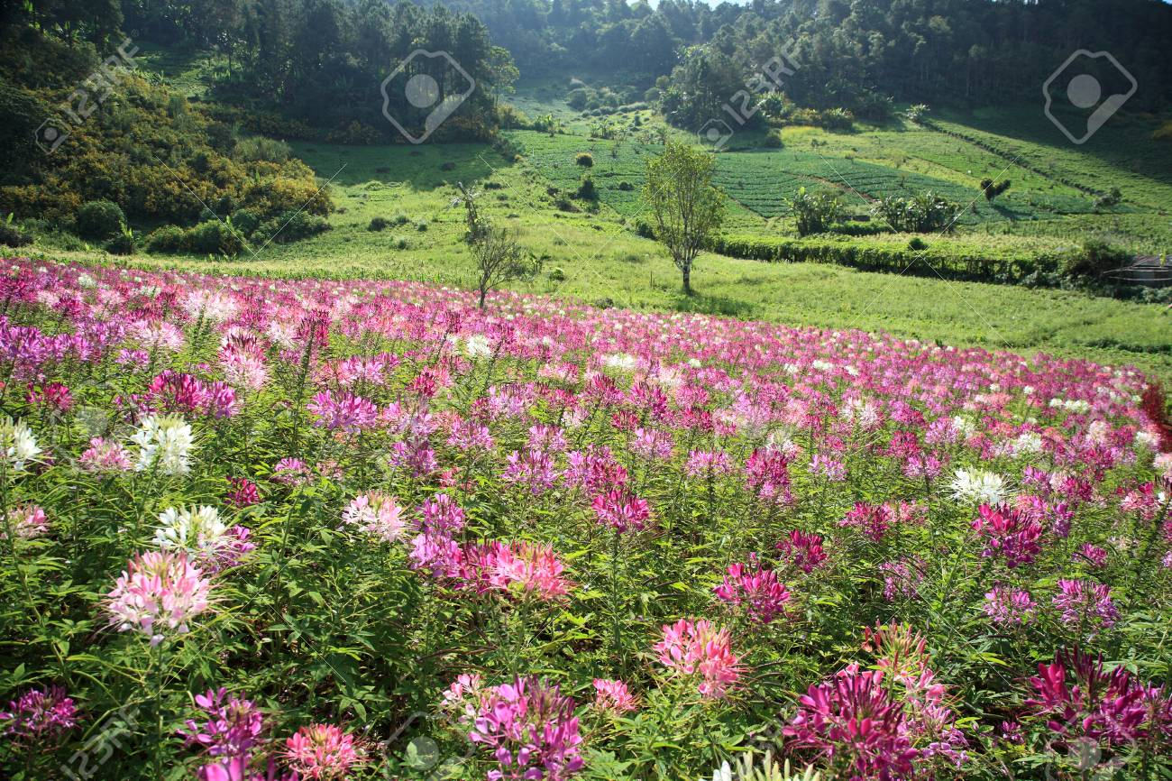 Purple Wild Flower Field Near Mountain In Chiang Mai Thailand Stock Photo Picture And Royalty Free Image Image 45299111