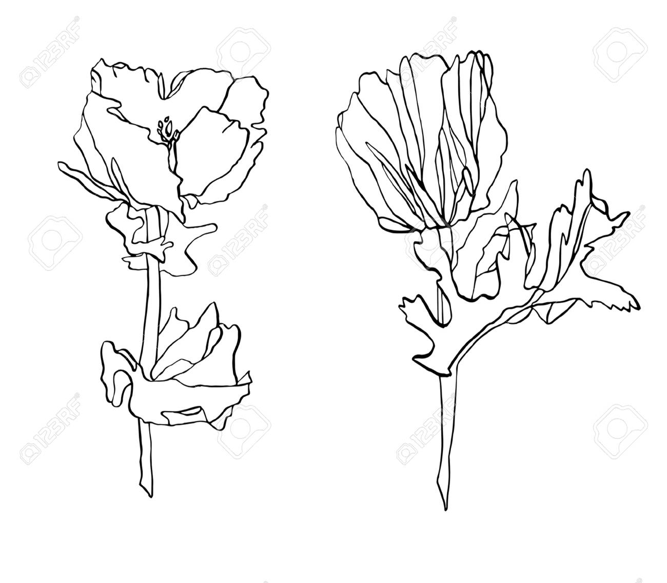 Decorative Ink Drawing Poppy Flower With Leaves Stock Photo Picture