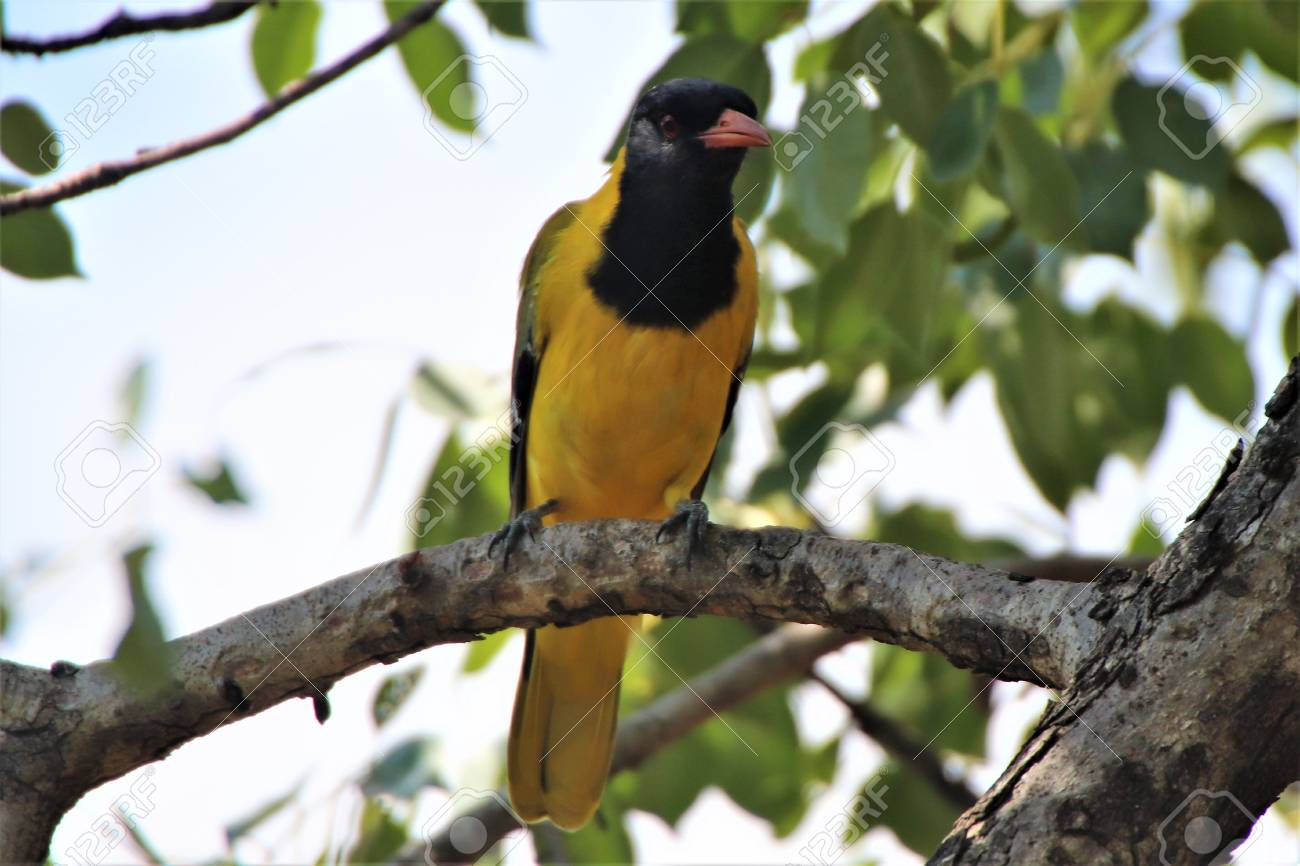 Oriole On A Branch Of A Tree Looking For Food Stock Photo Picture
