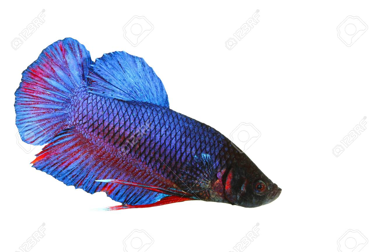 siamese fighting fish , betta isolated on white background Stock Photo - 16424812