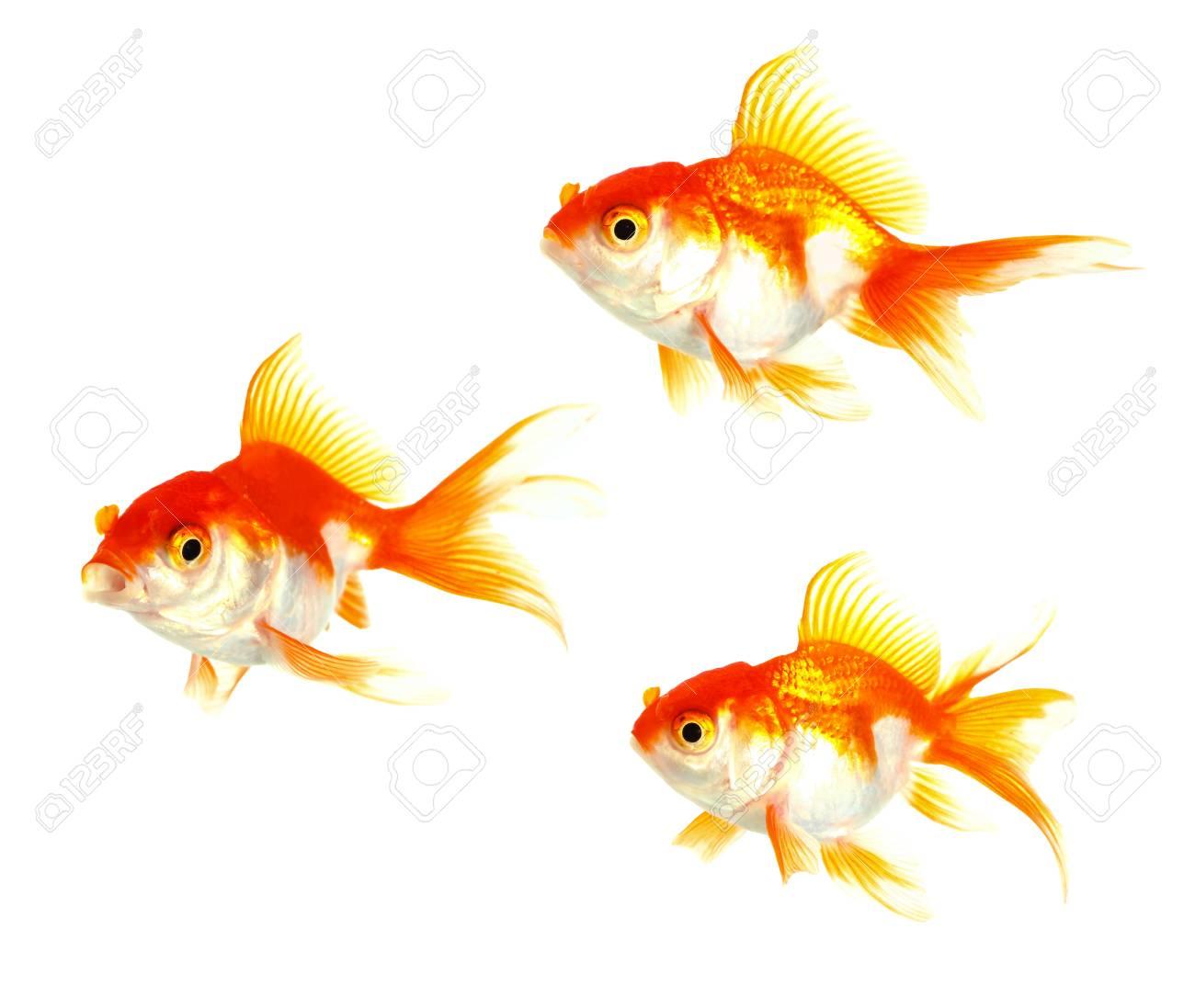 Gold fish  Isolation on the white Stock Photo - 16424774