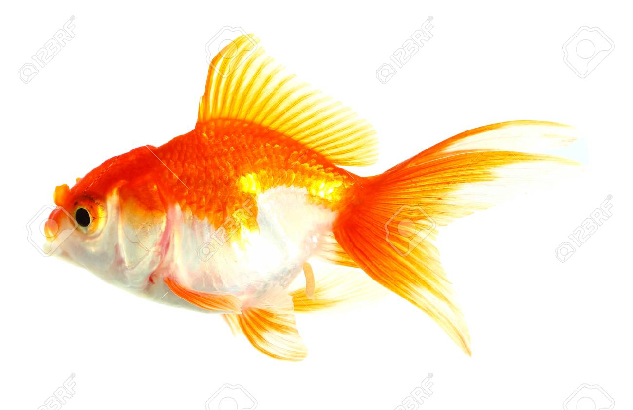 Gold fish  Isolation  on the white Stock Photo - 16863289
