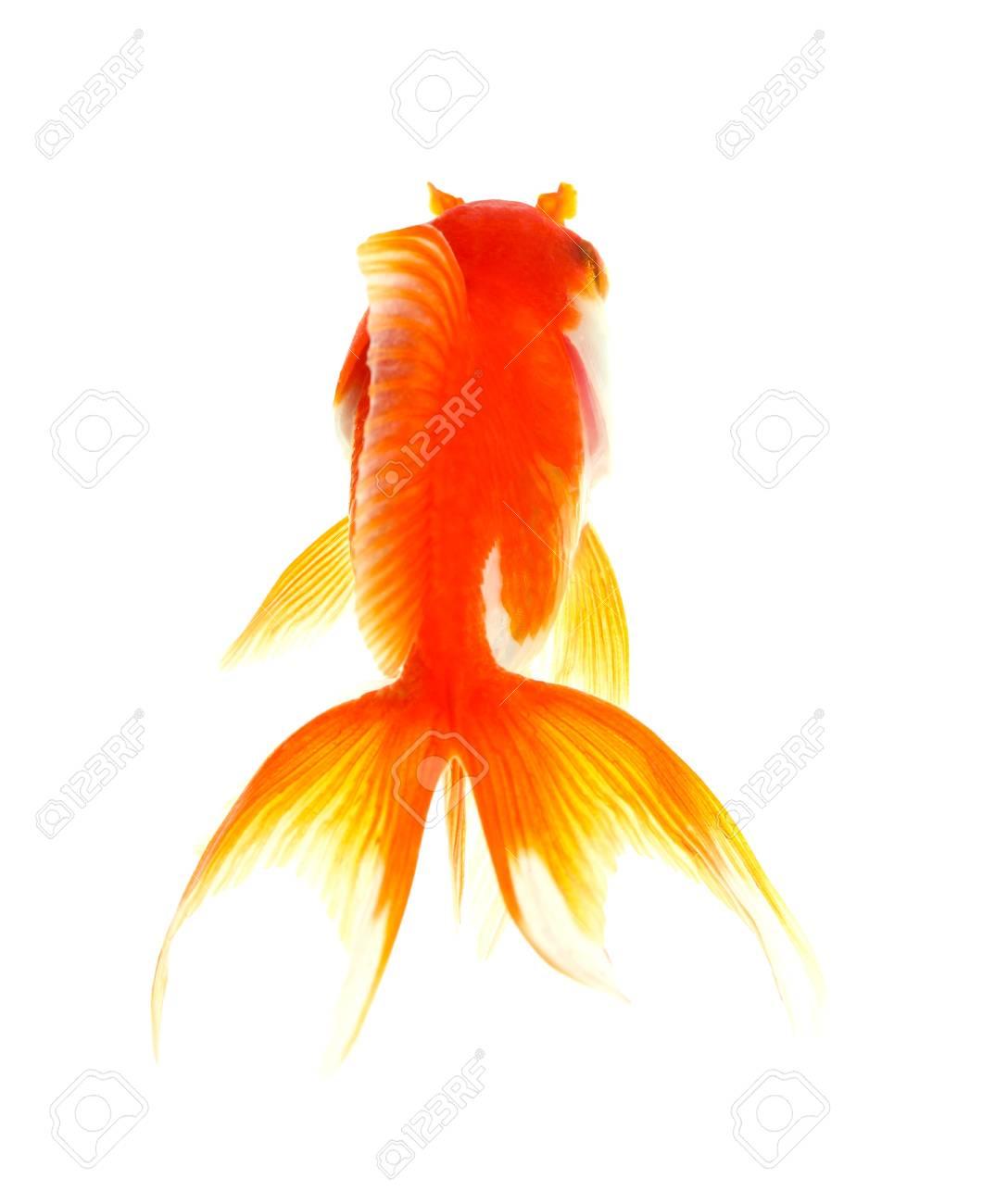 Gold fish  Isolation  on the white Stock Photo - 17422034