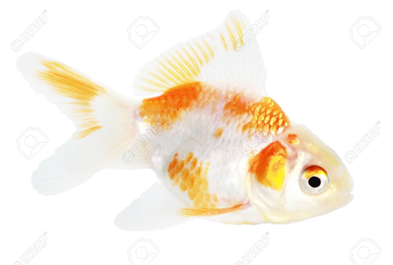 Gold fish. Isolation on the white Stock Photo - 18002564