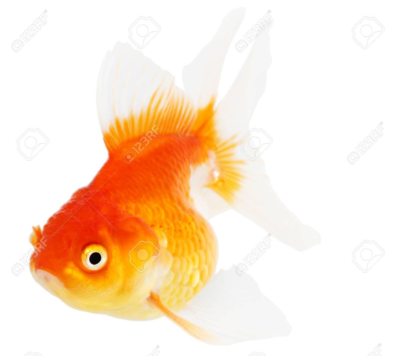 Gold fish  Isolation  on the white Stock Photo - 18465406