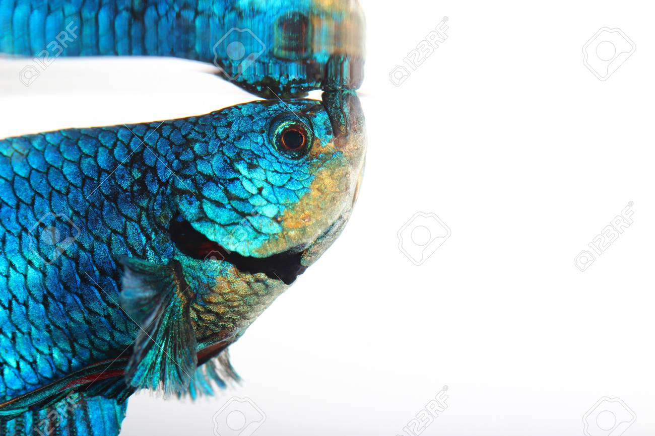 siamese fighting fish , betta isolated on white background Stock Photo - 25278244