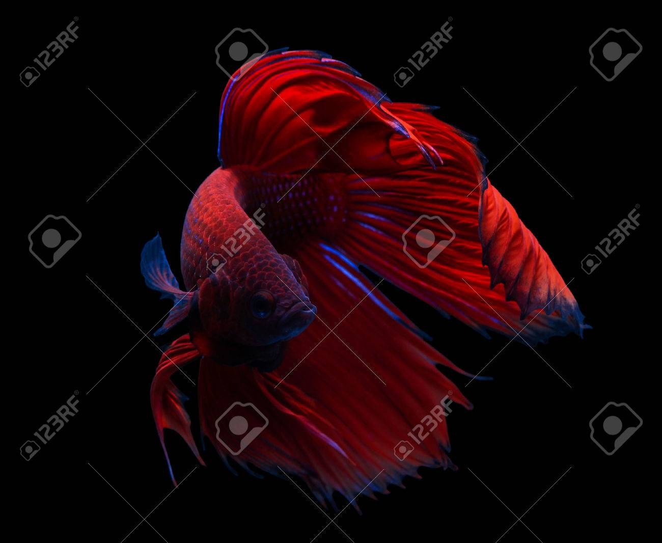 siamese fighting fish isolated on black background. Stock Photo - 26341370