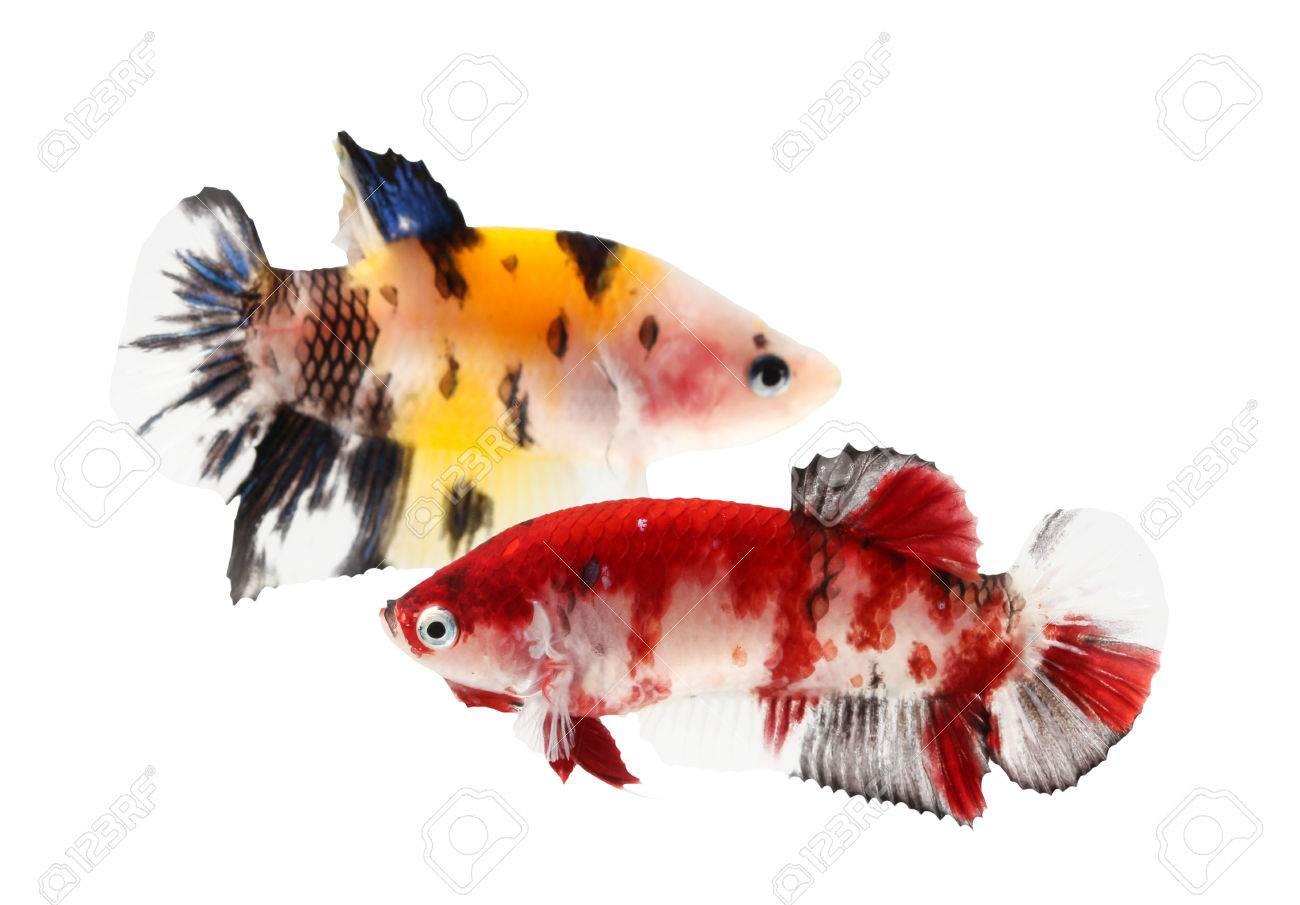Siamese Fighting Fish (koi Style), Betta Isolated On White ...