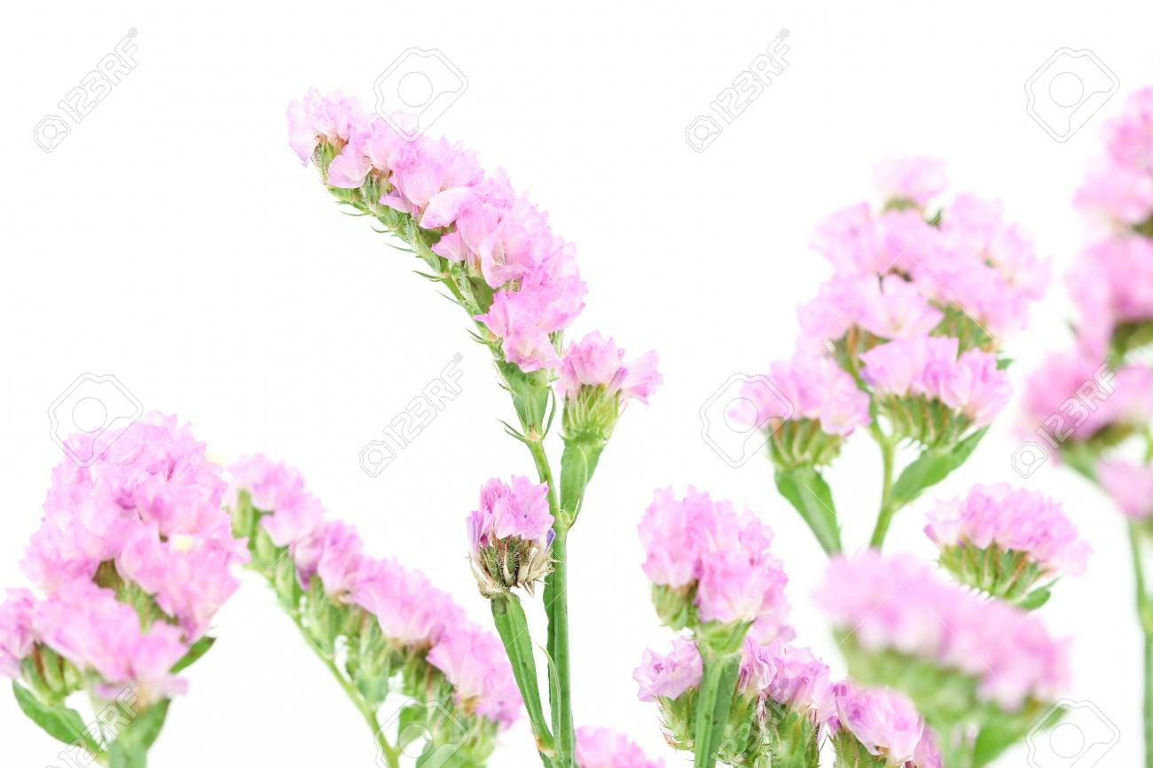 Purple Statice Flowers Isolated On White Background Stock Photo