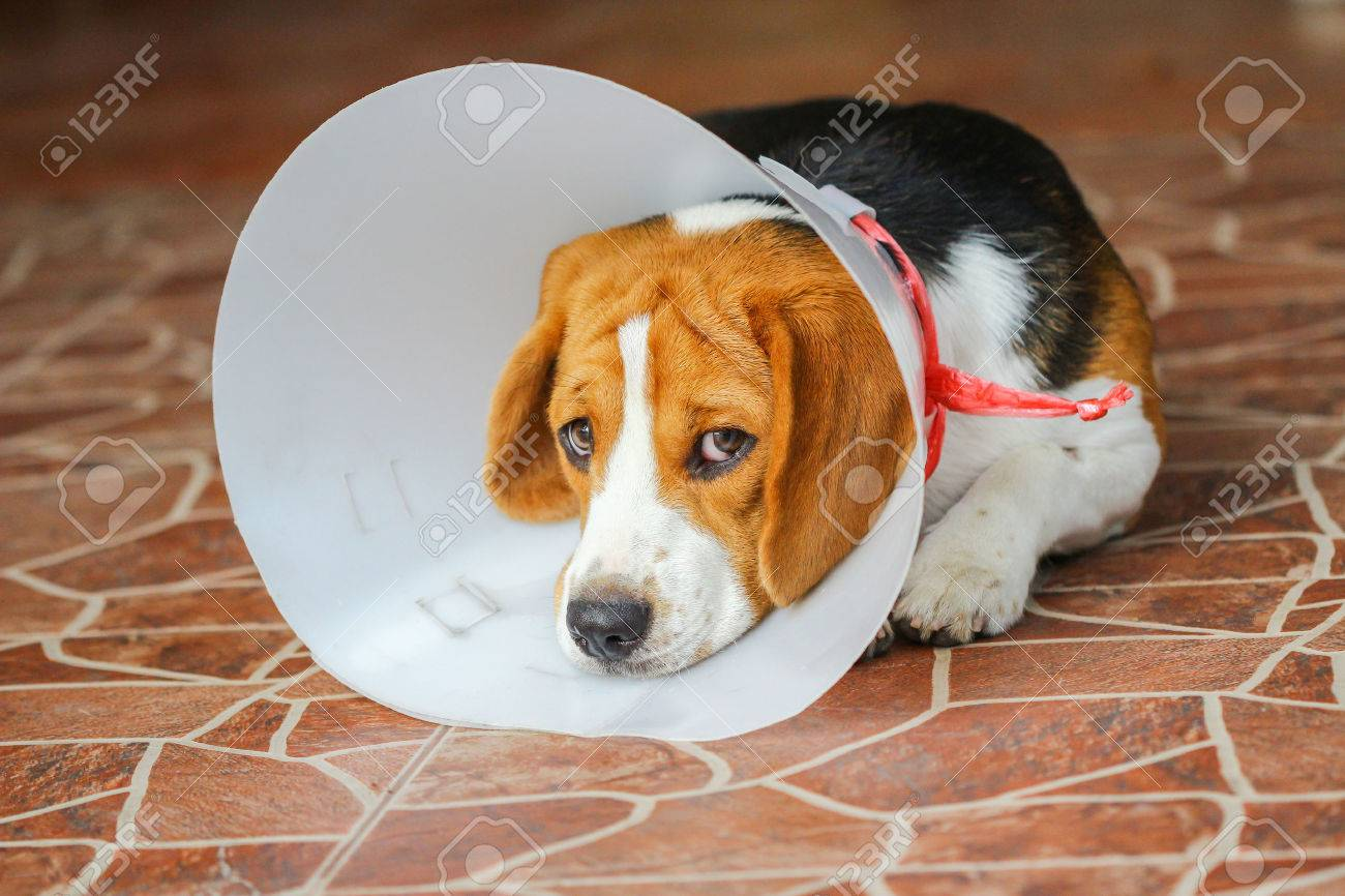 Sick dog wearing a funnel collar - 42741637