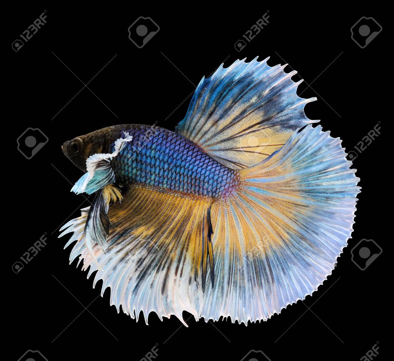 betta fish siamese fighting fish betta splendens dumbo halfmoon