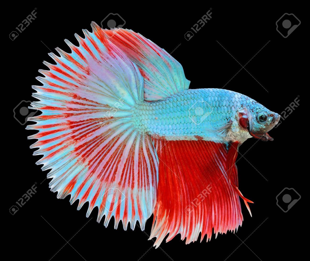 betta fish siamese fighting fish betta splendens halfmoon stock