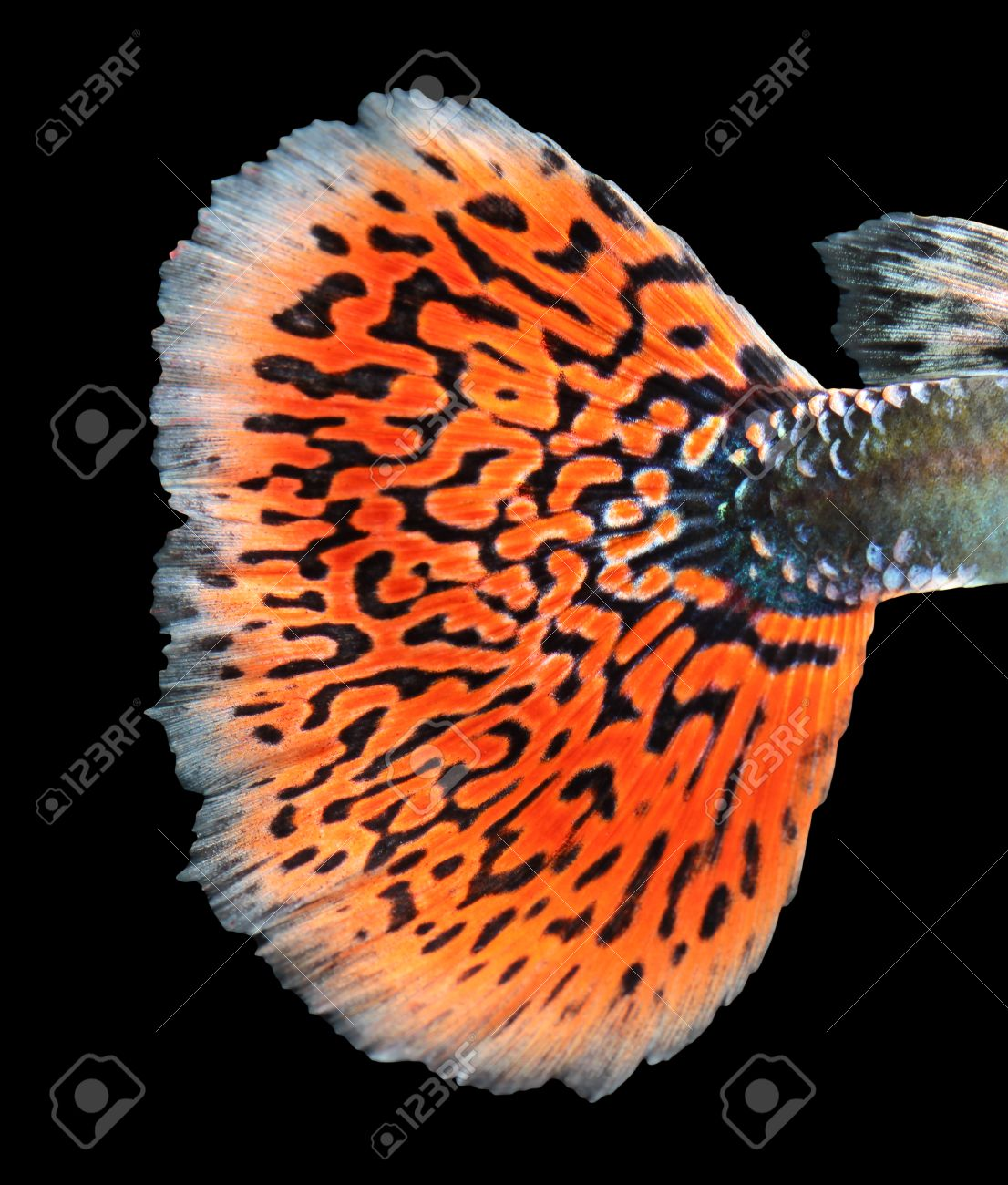 Texture Of Tail Guppy Fish Stock Photo, Picture And Royalty Free ...