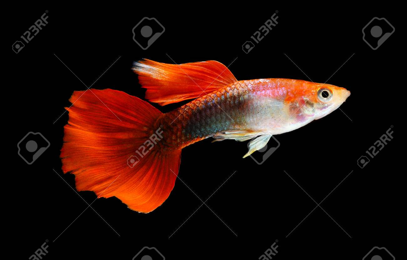 Guppy Fish Isolated On Black Background (Poecilia Reticulata) Stock ...