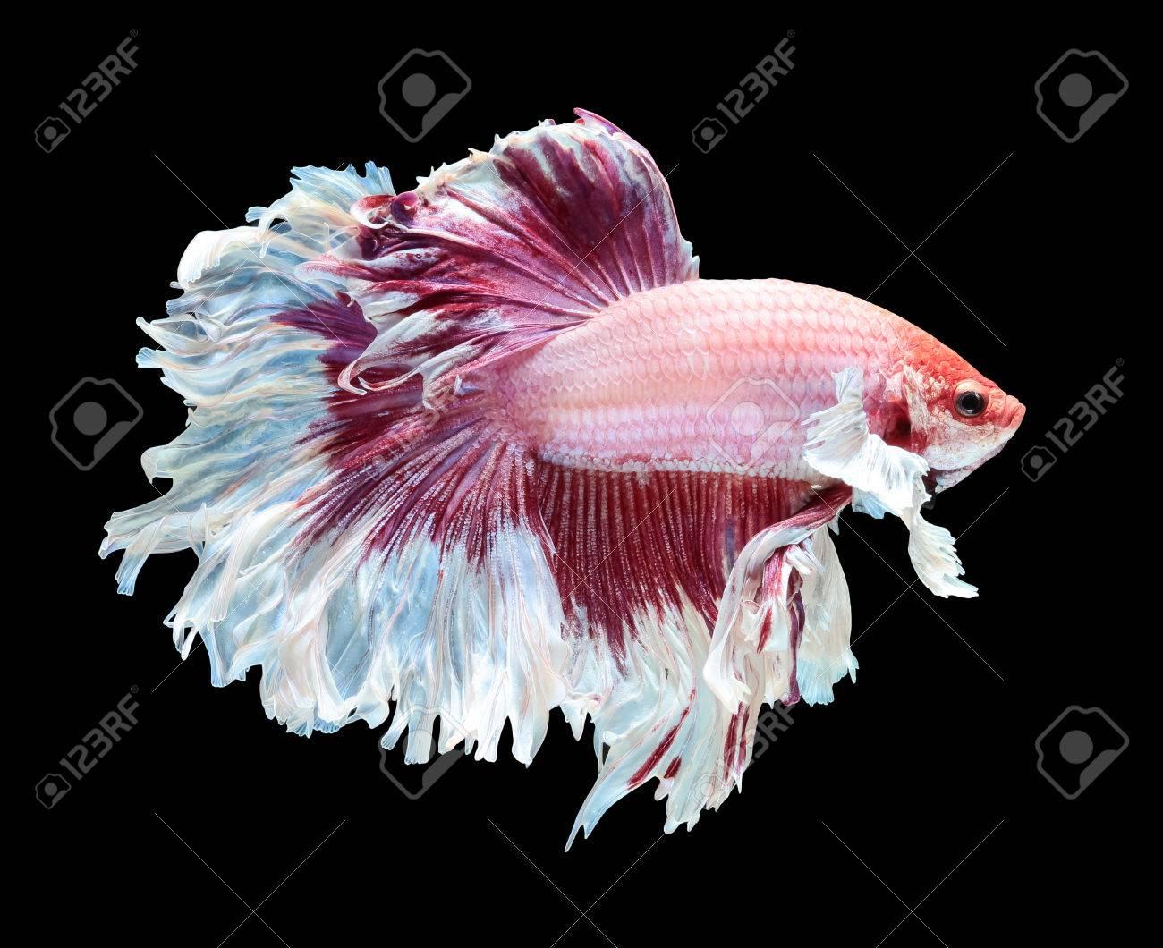 Betta fish, siamese fighting fish, betta splendens (Dumbo halfmoon