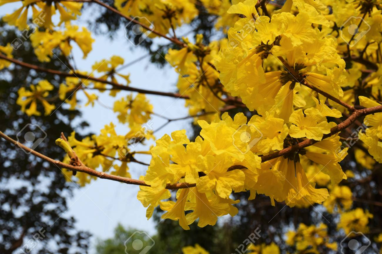 Golden Tree Tallow Pui Yellow India Commonly Known As Golden Stock Photo Picture And Royalty Free Image Image 104300309